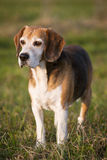 Beautiful purebred smart beagle hunting dog in summer pasture Stock Photo