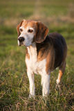 Beautiful purebred smart beagle hunting dog in summer pasture Royalty Free Stock Photography