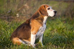 Beautiful purebred smart beagle hunting dog in summer pasture Stock Photography