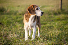 Beautiful purebred smart beagle hunting dog in summer pasture Stock Images