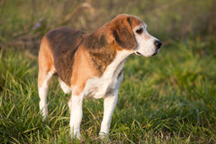 Beautiful purebred smart beagle hunting dog in summer pasture Royalty Free Stock Images