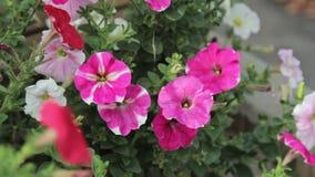 Beautiful purle flowers closeup. HD stock footage