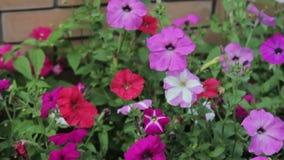 Beautiful purle flowers closeup. HD stock video footage