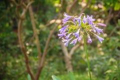 Beautiful purple Agapanthus africanus flower (African lily or li Royalty Free Stock Photos