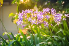 Beautiful purple Agapanthus africanus flower (African lily or li Royalty Free Stock Images