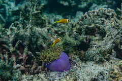 Beautiful purple alive coral with fish around in the ocean at Maldives Stock Image