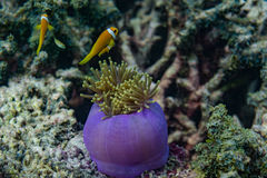 Beautiful purple alive coral with yellow small fish around in the ocean at Maldives Stock Photos