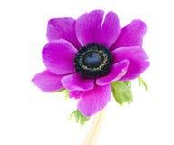 Beautiful purple anemone flower stock images
