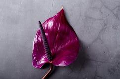 Beautiful purple Anthurium on a grey grunge background. Trendy minimalistic background royalty free stock image