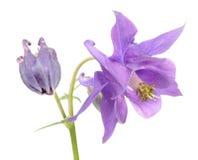 Beautiful Purple Aquilegia (Columbine) Flower Stock Photography