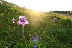 Beautiful purple aquilegia flower in the rays of the sun stock photos