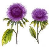 Beautiful purple aster flower on a stem with green leaves. Set of two flowers isolated on white background. Watercolor painting. Hand drawn illustration Royalty Free Stock Photos