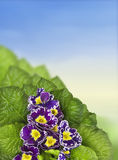 Beautiful purple beautiful purple primrose border against sky, border against sky, Royalty Free Stock Photo