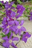 Beautiful purple bell flowers Stock Image