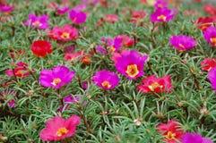 Beautiful purple bell flowers Royalty Free Stock Photos