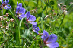 Beautiful purple bells closeup. In the grass Royalty Free Stock Photography