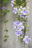 Beautiful purple Bengal Trumpet or Thunbergia grandiflora decorate on the wall at home. Stock Photos