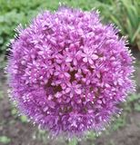 Big purple ball. Cute flower. stock photo
