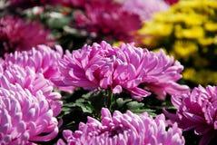 Beautiful purple big chrysanthemums Royalty Free Stock Photos
