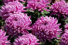 Beautiful purple big chrysanthemums Stock Photos