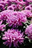 Beautiful purple big chrysanthemums Stock Photography