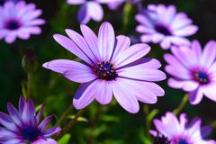 Osteospermum, a flowering plant also known as Daisybush or South African Daisy royalty free stock photos
