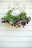 Beautiful purple blooms. These are some of the beauties currently thriving on the side of my house Royalty Free Stock Photo