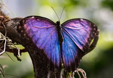 A beautiful purple and blue butterfly. Its colour looks a little like oil on water stock photography