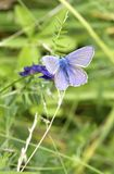 Beautiful purple and blue colored butterfly Royalty Free Stock Images