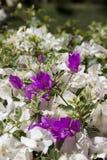 Beautiful purple bougainvillea flowers Royalty Free Stock Images