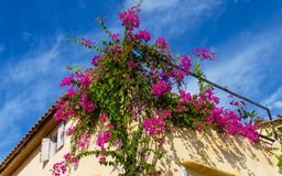 Beautiful purple Bougainvillea flowers growing on the side of the house. Closeup shot stock photography