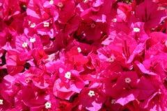 Beautiful purple bougainvilleas Royalty Free Stock Photography