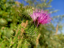 Beautiful purple burdock among green grass Stock Photo