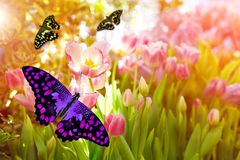 Beautiful purple butterfly on pink tulips royalty free stock photography