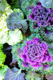 Cabbage Flowers. The beautiful purple cabbage flowers Stock Photos
