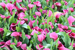 Beautiful purple of calla lilies in garden Stock Photo