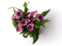 Beautiful purple calla lilies. Overhead view of beautiful purple calla lilies Royalty Free Stock Images