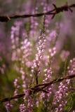 Beautiful purple calluna flowers growing between rusty barbed wires Stock Image