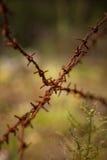 Beautiful purple calluna flowers growing between rusty barbed wires Royalty Free Stock Image