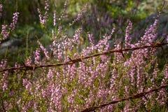 Beautiful purple calluna flowers growing between rusty barbed wires Royalty Free Stock Images