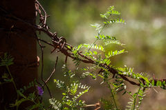 Beautiful purple calluna flowers growing between rusty barbed wires Royalty Free Stock Photography