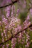 Beautiful purple calluna flowers growing between rusty barbed wires Stock Images