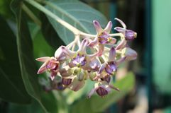Beautiful Purple Calotropis Flowers on green leaf background. Is a genus of flowering plants in garden from Bangkok Thailand Stock Image