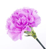 Beautiful Purple Carnation. Purple Carnation, Single Flower, Isolated on a White Background royalty free stock photo