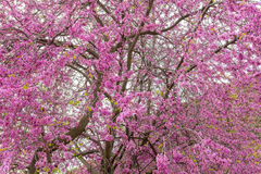 Beautiful purple cherry tree in spring Stock Photography