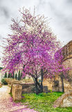 Beautiful purple cherry tree in spring Royalty Free Stock Photo