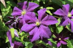 Beautiful Purple Clematis Royalty Free Stock Photo