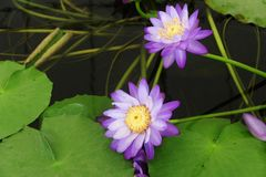 Beautiful purple color lotus spiritual meaning. The color of the Lotus certainly affects its general meaning. More passionately colored red, purple, and blue Royalty Free Stock Images
