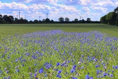 Beautiful purple cornflowers in an agricultural crop field on a sunny day stock photography