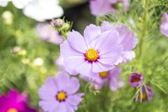 Beautiful purple cosmos flower over blurred green garden background. Natural concept background, outdoor day light Royalty Free Stock Photography